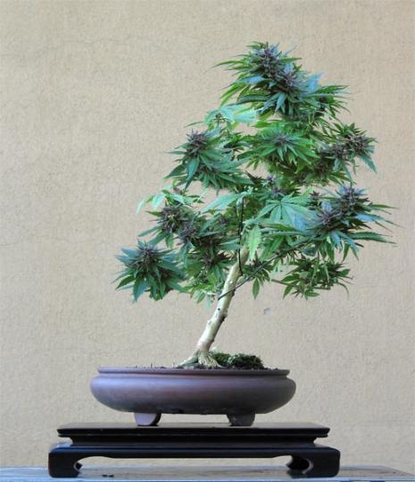 cannabis_1